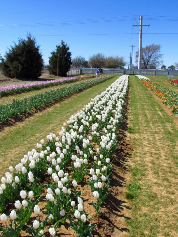 Texas Tulip Field