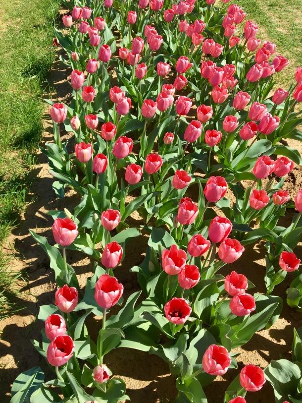 U Pick Tulips